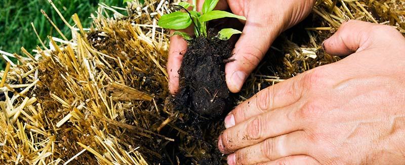 Hodowanie na sianie czyli  jak uprawia się warzywa w Australii