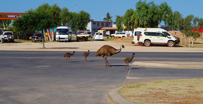 Uwaga Emu na drodze!