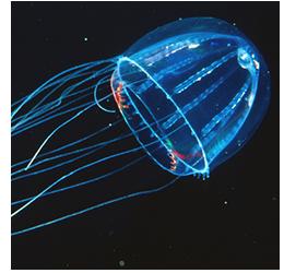 Jimble jellyfish