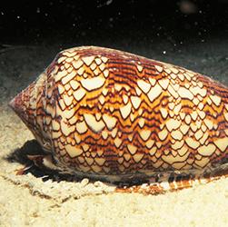 cone-snail