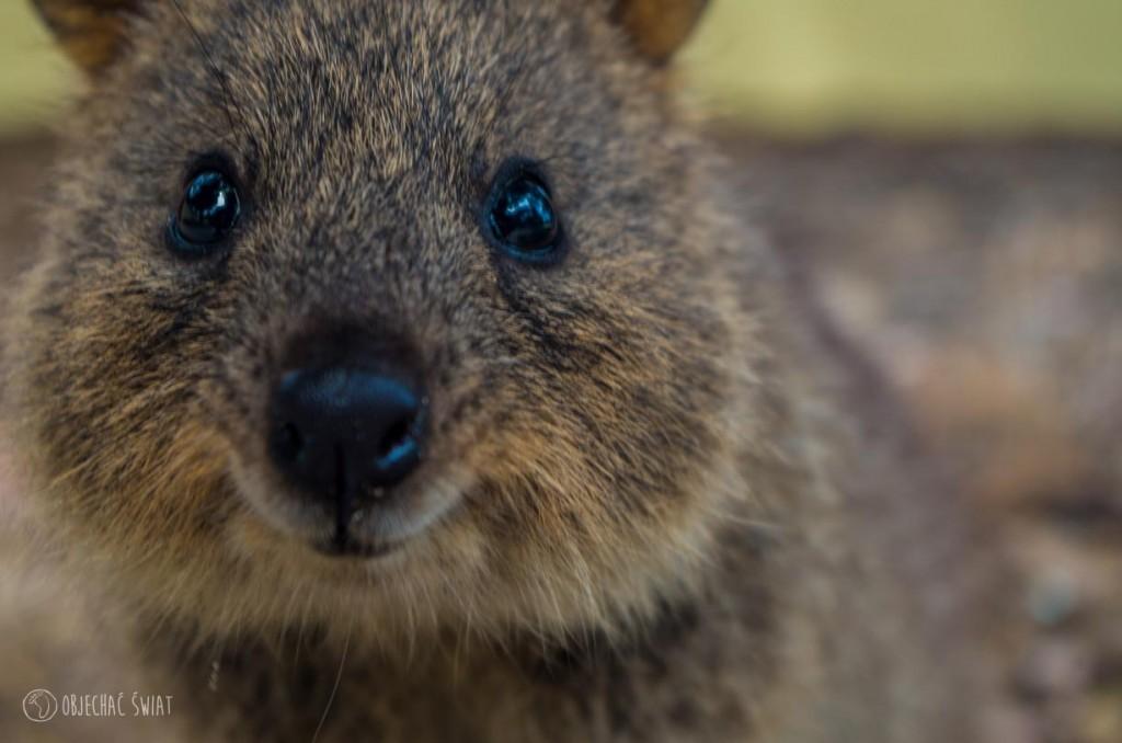 Urocze szczurze gniazdo | Rottnest Island